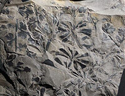 Fossil plants vine liana-like extinct horsetail Sphenophyllum and fossil fern