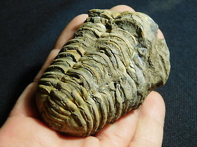 A BIG! 400 Million Year Old Flexicalymene Trilobite Fossil From Morocco 119gr e