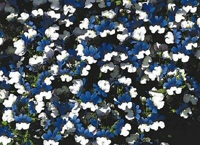 40+ Nemesia KLM Blue and White Bi-Color / Annual Flower Seeds