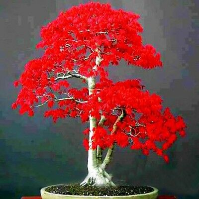 30pcs Bonsai Tree Red Maple Japanese House Plant Decoration Seeds Garden Hot