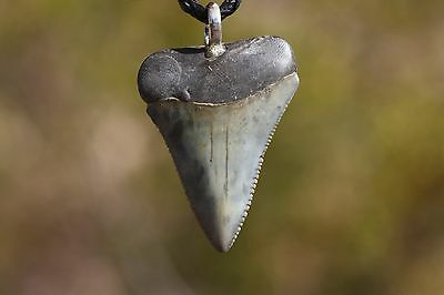 Shark tooth Necklace 1.61 Inches tall!