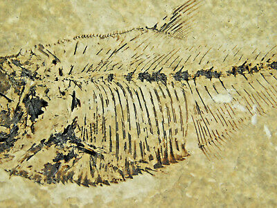 Super FINE Bones! A 50 Million Year Old Fossil Fish Found in Wyoming 230gr