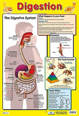 A2 Digestion Poster/ educational / learning / science / human body