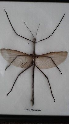 Taxidermy LARGE STICK INSECT  FAMILY PHASMATIDAE 27.3 x 22 cm.