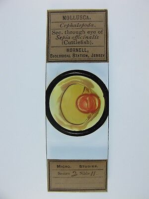 Antique Microscope Slide by Hornell. Section through Eye of Cuttlefish.