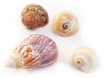 """4 Select Hermit Crab Changing Shell Set 1/2-1 1/2"""" opening Small-Medium Hermits"""