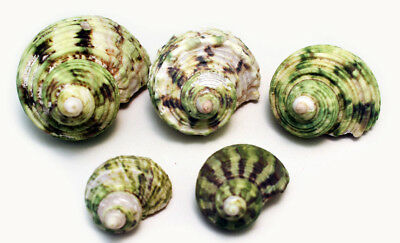 """5 Hermit Crab Changing Shell Set -Small 3/8""""-7/8"""" opening -Select Turbo Shells"""