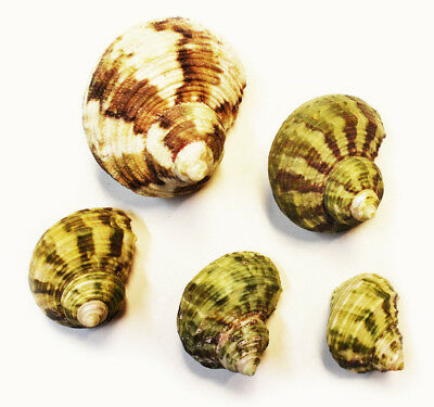 """5 Hermit Crab Changing Shell Set  Small-Med 5/8-1"""" opening -Select Turbo Shells"""