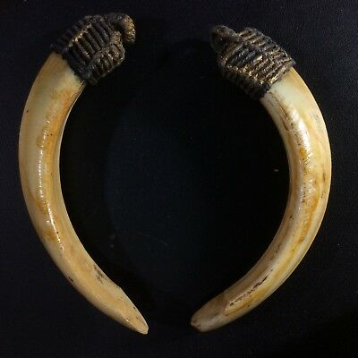 Thai Amulet Real 2 Wild BOAR Teeth Pig Canine Pendant Power Tooth Charm Blessed