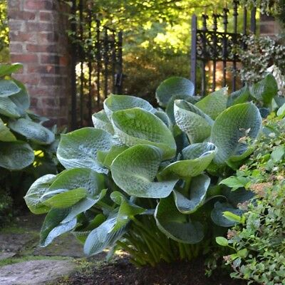 HOSTA Drinking Gourd Bare ROOT Large Two Year Old Plant Gets 23 Inches