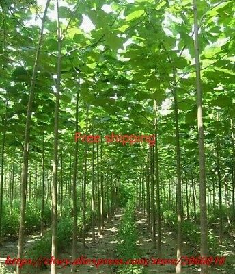 paulownia elongata forest tree bonsais,200pcs/pack fast growing