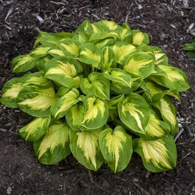 Hosta Mini Skirt Plant Spring 2019 Ship Buy Any 5 Get A Free One My