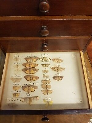Edwardian Collectors Cabinet of Butterflies and Moths
