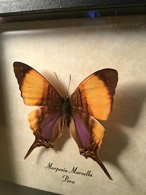 Marpesia Marcella Purple Stained Daggerwing Peruvian Real Framed Butterfly