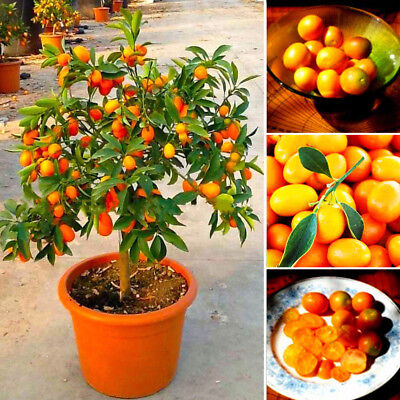 20pcs Fruit seeds Miniature Kumquat seeds Vegetable Fruit Bonsai Tree garden UP