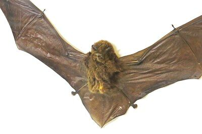 XMAS SALE Bat WAS $155 now $99 !!!  taxidermy framed Miniopterus medius BGMM