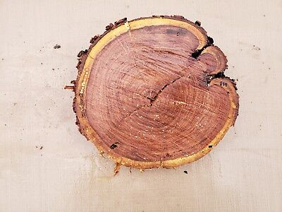 Salvage Round Live Edge Hard Wood Slab Mesquite Stand Craft Taxidermy Board 628