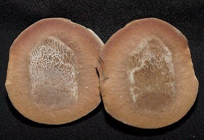 Very Rare detailed lungfish fossil fish scale paired Mazon Creek like nodule