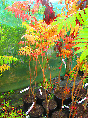 4ft-4.5ft Staghorn Sumach Tree - 5litre size - Rhus typhina