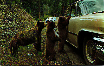American Black Bears at Yellowstone National Park, Cubs Beg Vintage Postcard G09