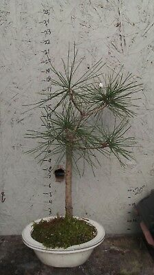 japanese black pine bonsai,rare tree with extras...about 10 years old.