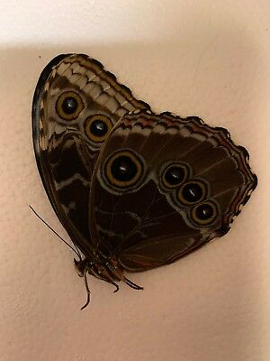 Morpho helenor Carillensis A1 Papered Specimen Ex Costa Rica