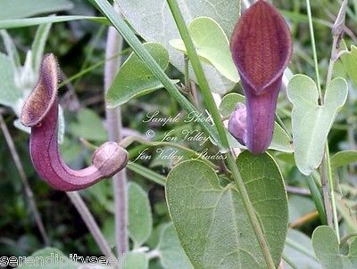Aristolochia tagala Seeds Aromatic Flowers Host to 2 Rare Butterflies Pipe Plant