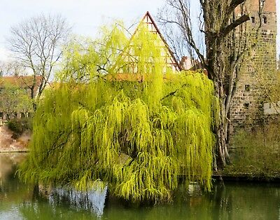 Betula pendula Weeping Birch Seeds White Papery Bark Sun to Shade Fall Color