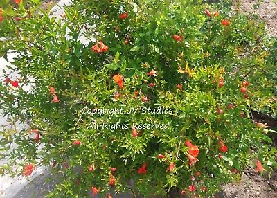 Punica granatum Seeds Pomegranate Bonsai Standard or Container Gardening