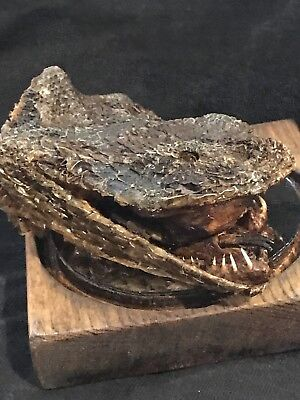 Mummified Gaboon Viper Head taxidermy