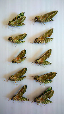 5 x PAIR Daphnis Nerii papered A1 Real Insect taxidermy Ex Thai