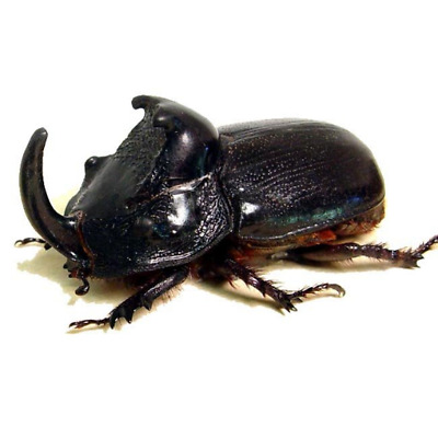 Trichogomphus martabani rhino beetle very large Artwork A1 Real Insect taxidermy