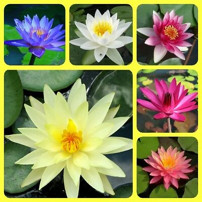 Water Lily seeds Mixed colors Nymphaeaceae New Water Pond Plant Seeds - 5/10pcs