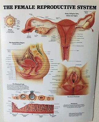 The Female Reproductive System Poster Anatomy Chart Gynecology Medical Student