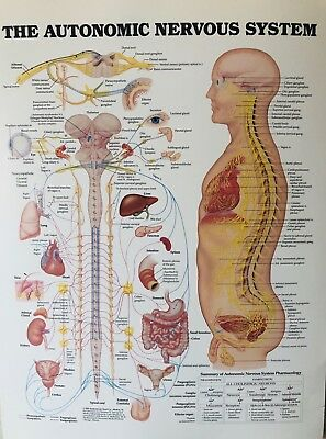 Anatomic Nervous System Medical Chart Student Poster Anatomy