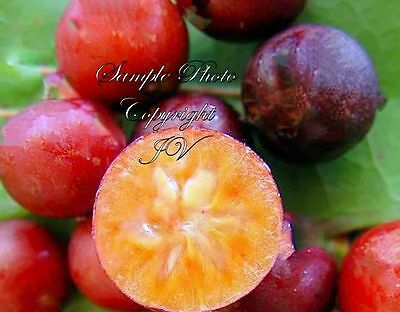 Seeds Tropical plant RARE! Flacourtia jangamas Indian Coffee Plum ornamental