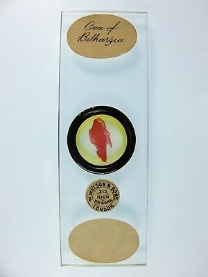 "Antique Microscope Slide by W.Watson & Sons. ""Ova of Bilharzia""."