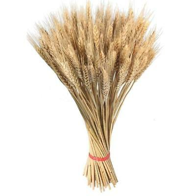 100pcs Large Dried Flowers Golden Natural Dried Wheat Wedding Home Decorations