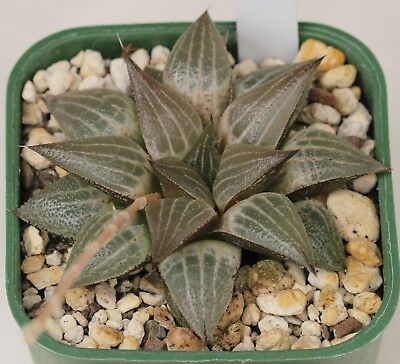Haworthia hybrid (2019 - 8)   2019 season  - 12 seeds