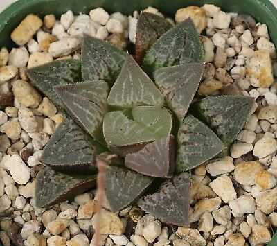 Haworthia Hybrid (2019 - 9)  2019 season  - 12 seeds