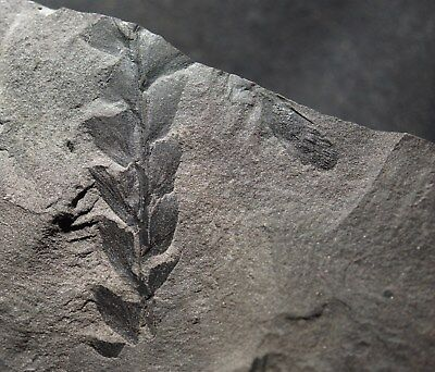 Extrem Rare devonian Archaeopteris fertile fossil plant with cone or sporangia !