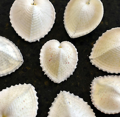 "12 Beautiful White True Heart Cockle Shells (1-1.5"") Beach Wedding Crafts Decor"