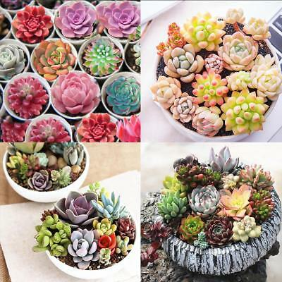 400X Mixed Succulent Seeds Lithops Living Stones Plants Cactus Exotic Plant