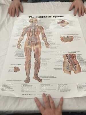 The Lymphatic System Anatomical Chart Anatomy Poster Peter Bachin