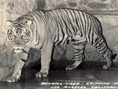 Real Photo Postcard Bengal Tiger Griffith Park Zoo Antique Advertising Postcard