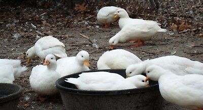 Call Duck Eggs Hatching 6 and will send 6 Free