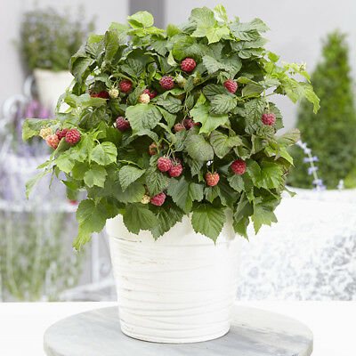 New Patio Raspberry 'Yummy' in 12 cm pot