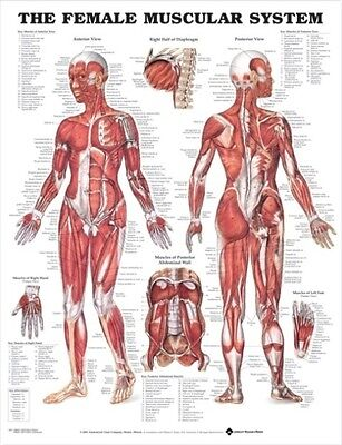 FEMALE MUSCULAR SYSTEM POSTER (66x51cm) ANATOMICAL CHART HUMAN BODY ANATOMY