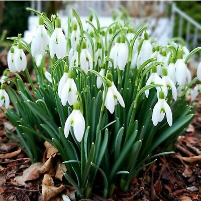 Single Snowdrops (Galanthus Nivalis) In The Green - Spring Flowering Bulbs