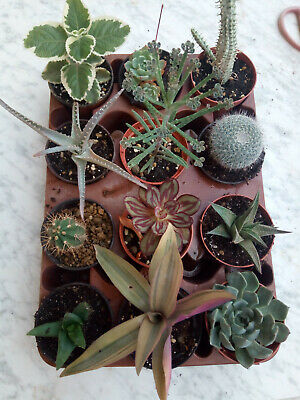 Lot of 12 Plants Succulents of Collection 6-15 CMS Tray Assortment Full